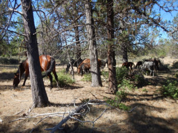Wild horses reducing dry fuels off forest floor.