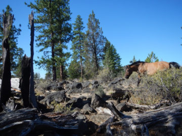Lightening hit this dead snag and it burned, but the fire did not spread into the forest due to ground fuels reduction by grazing wild horses.