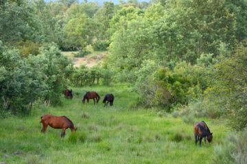 Wild Retuerta horses in Castilla y León region, Spain.
