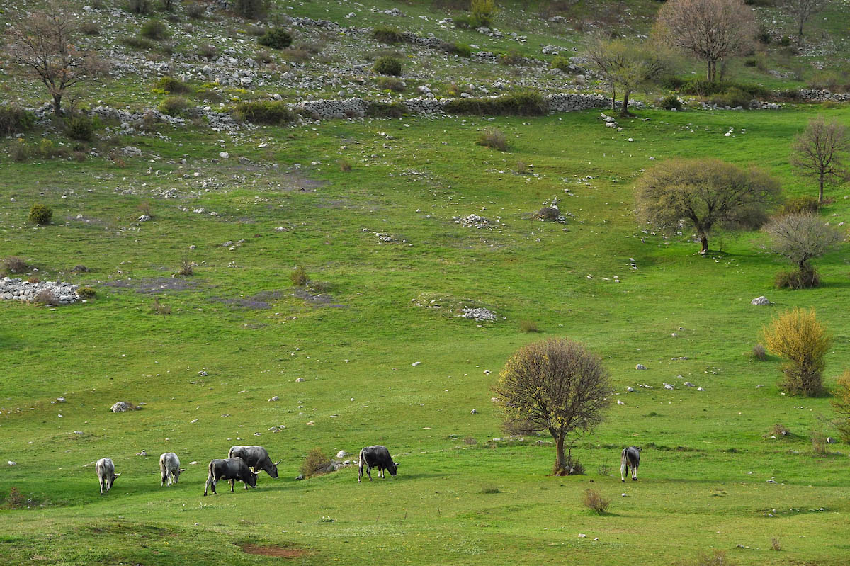 Boskarin cattle in the Velebit mountains Nature Park, Croatia.