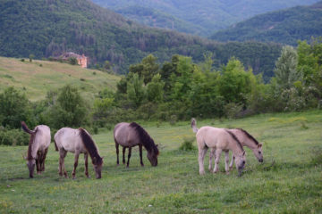 "A grazing ""fire brigade"" working at landscape scale in Bulgaria's Rhodope Mountains."