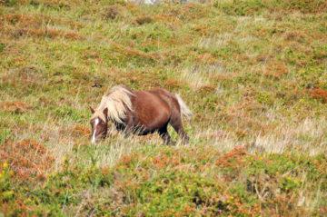 Wild pony in Galicia.