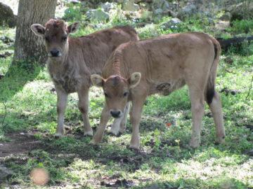 Rhodope Shorthorn calves.