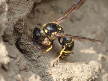 A large aspen mason-wasp