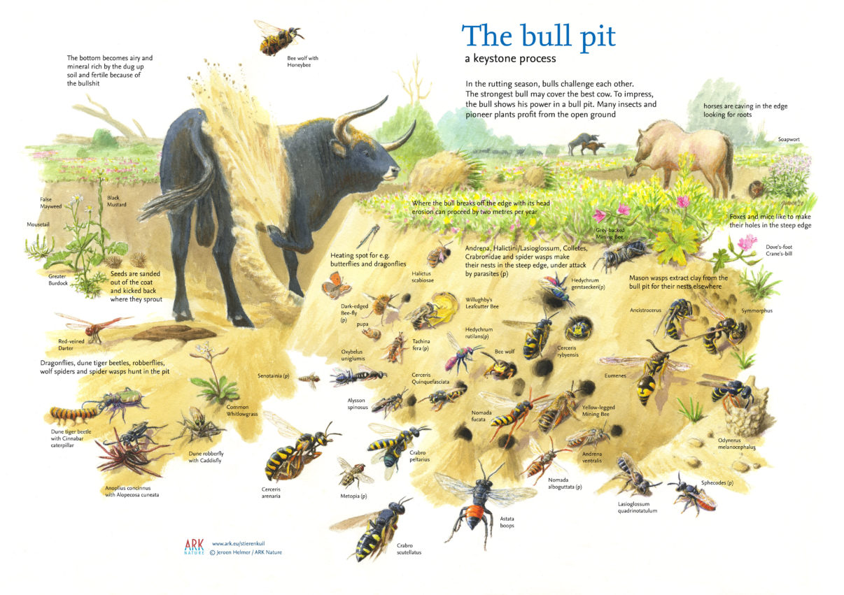 bull pit as a keystone process