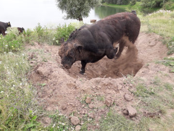bull digging a pit in the sand