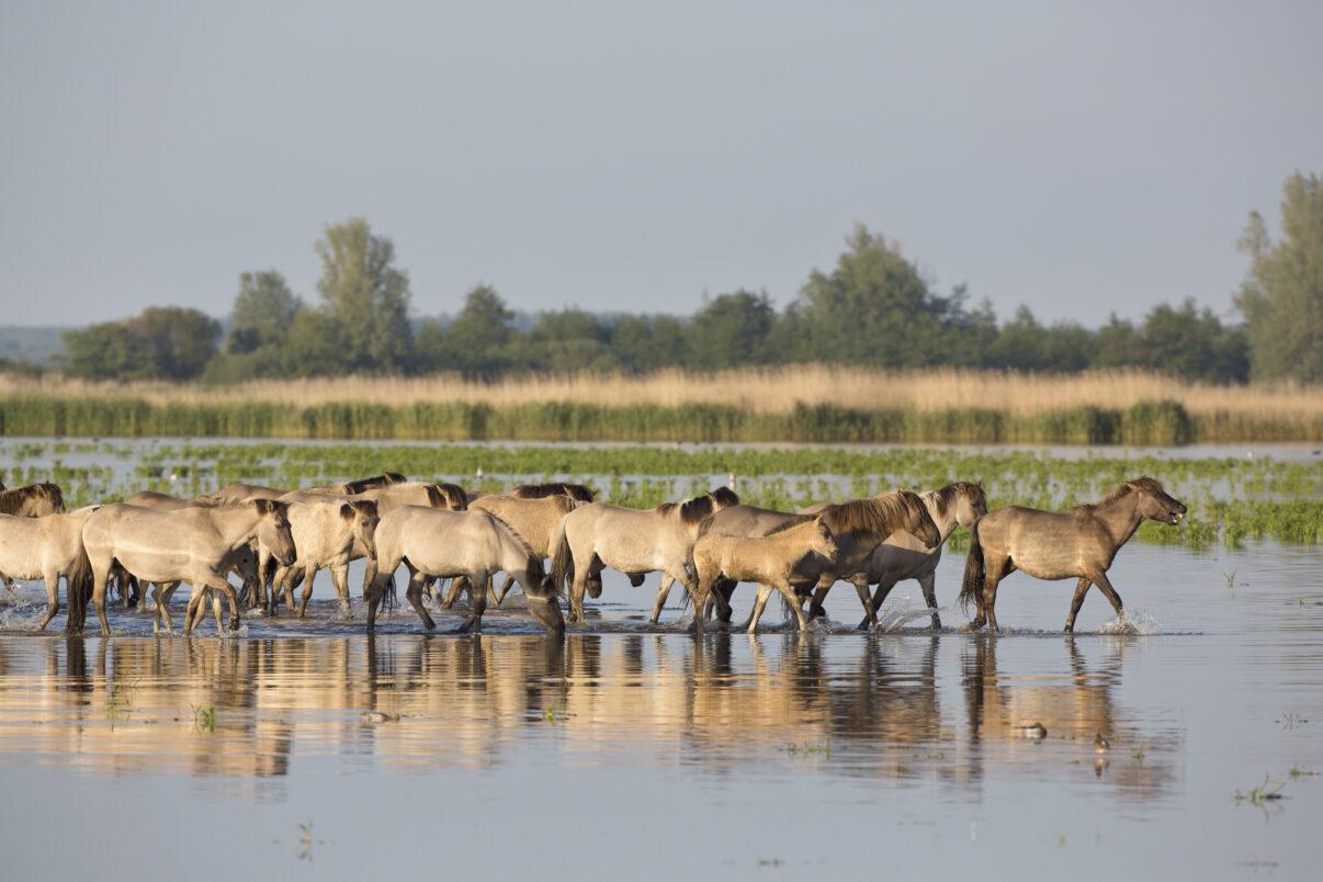 Konik horses (Equus caballus caballus) marching through the water, The Netherlands, Friesland, Lauwersmeer