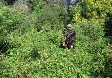 Dense groves of Amorpha on Tataru island
