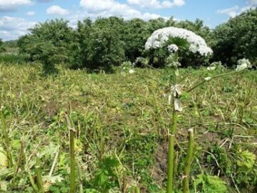 Field of giant hogweed destroyed by semi-wild cattle