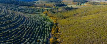 Genista sp., shrub vegetation natural recovery, Pyrenean oak plantation, Quercus pyrenaica, Serra da Malcata Nature Reserve, Greater Coa Valley, Western Iberia, Rewilding Portugal, Rewilding Europe, Portugal, Europe