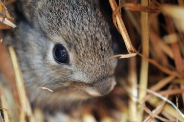 European rabbit, Oryctolagus cuniculus.in the Campanarios de Azaba reserve, a Rewilding Europe area, Salamanca district, Spain