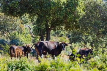 Maronesa cow, Natural grazing, Faia Brava Nature Reserve, Greater Coa Valley, Western Iberia, Rewilding Portugal, Rewilding Europe, Portugal, Europe